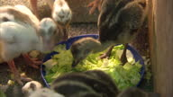 Interior shots of Rhea chicks in a pen with one unhatched egg on a breeding farm>> on June 25 2015 in Salisbury United Kingdom