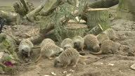 Interior shots several Meerkats foraging in zoo enclosure at Twycross Zoo Leicestershire on Sunday 12th March 2017