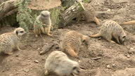 Interior shots several Meerkats foraging in zoo enclosure at Twycross Zoo Leicestershire on Sunday 12th March 2017 PLEASE NOTE Colour briefly drops...
