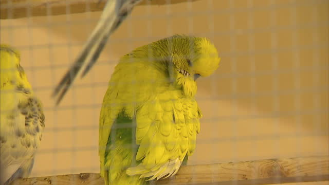 Interior shots yellow Budgerigars in cage rubbing their beaks together Interior shots budgies in cage sat on perches pecking at seeds A top budgie...