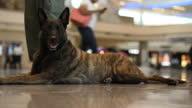 Internal shot Alsatiantype dog mongrel sitting lying down on airport floor at HartsfieldJackson Atlanta International Airport in Atlanta Georgia...