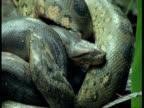 BCU 2 Intertwined Anaconda's heads, South America