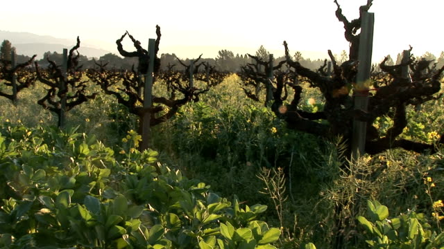 Into a Napa Valley's vineyard
