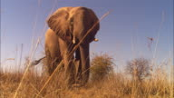 MS into CU African elephants walks up very close to camera