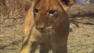 MS into CU African lion cub looking intently past camera with dead trees and skulls in background