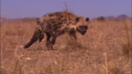 WS into CU Hyena sniffing in grassland and finds meat close to camera