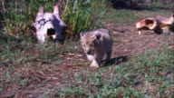 WS into CU very young African lion cub walks to camera past prey skulls