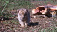MS into CU very young African lion cub walks to camera past prey skulls