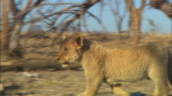 MS into CU PAN with African lion cub walking through dead trees and skulls