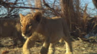 MS into CU PAN with African lion cub walking towards camera through dead trees and skulls