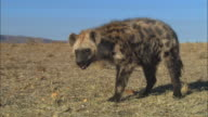 MS into CU PAN with Hyena sniffing ground and picking up food very close to camera