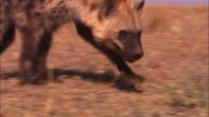 MS into CU PAN with Hyena sniffing ground very close to camera