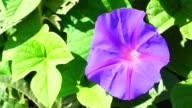 Iponmea Indica flowers in 4K