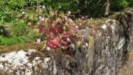 Ireland plants on a stone wall
