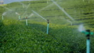 Irrigation Sprinklers system watering tea field