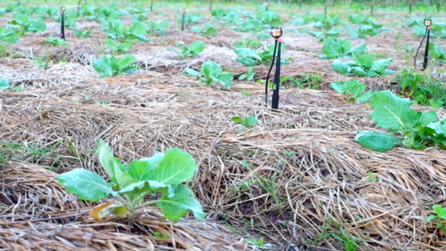 irrigation system watering a farm field of vegetables