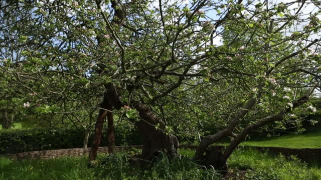 Isaac Newton's famous apple tree