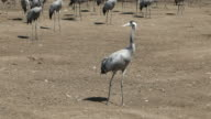 Israel, Hula Lake Nature park, view of Cranes in the park