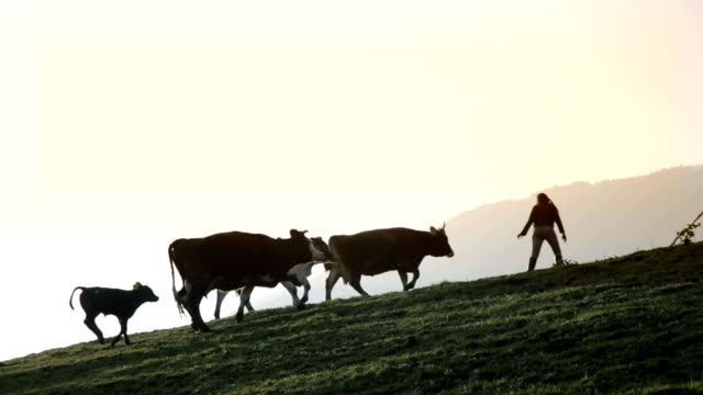 Italy, cows and calves on a meadow at sunset following the shepherdess