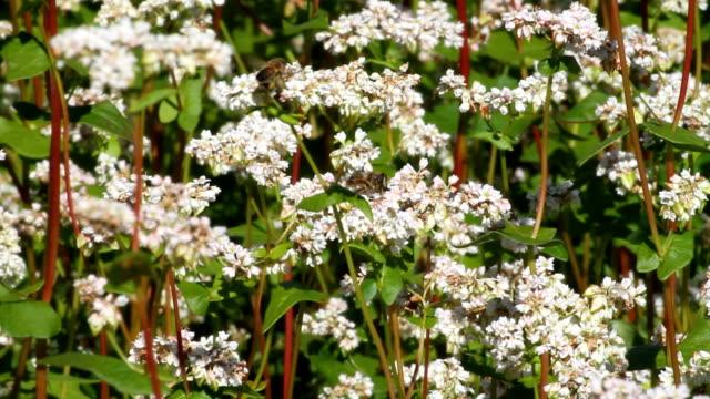 Italy, Fiemme valley, farming buckwheat (Fagopyrum esculentum)