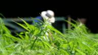Italy, Fiemme valley, farming hemp