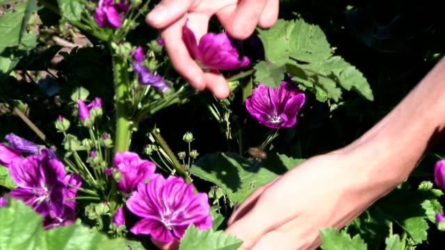Italy, Fiemme valley, farming mauve (Malva sylvestris)