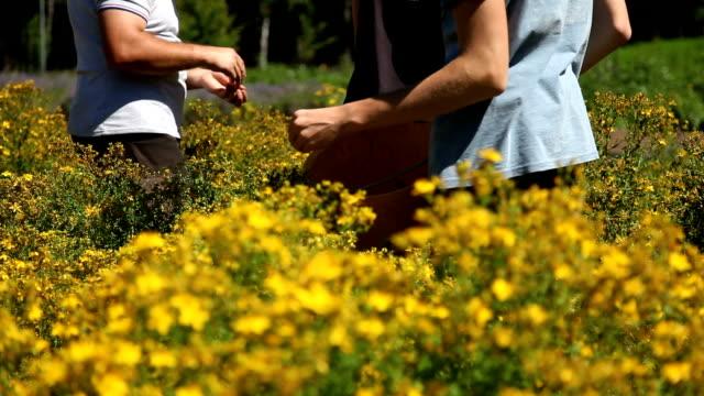 Italy, Fiemme valley, hipericum (Hypericum perforatum)