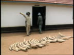 13 CR992 KENYA IVORY KENYA 0240 Game Rangers laying ivory tusks on ground CU ivory tusks 'Trophy Room' sign overhead door of building Pile of old...