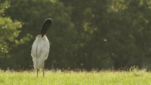 Jabiru stork preens itself in the rain.