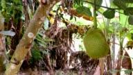 Jack fruit on tree ultra hd.