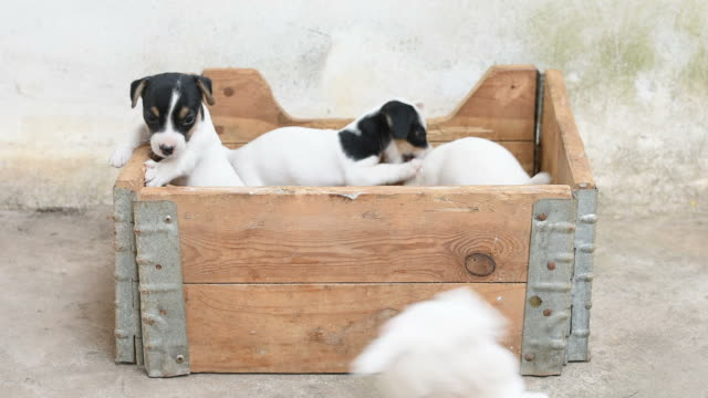 Jack russel terrier puppy in basket
