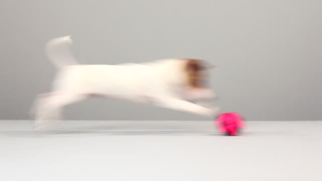 Jack russell chasing ball
