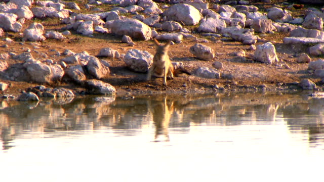 Jackal next to a water hole/ Etosha National Park/ South Africa