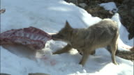 Jackal tugs at goat carcass in snow, Chopta Available in HD.