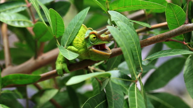 Jackson's Chameleon in Hawaii HD