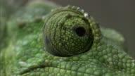 Jackson's chameleon (Trioceros jacksonii) looks around, Hawaii