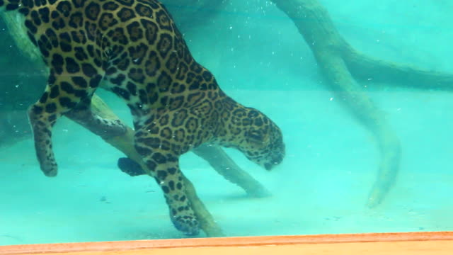 Jaguar dive to feed