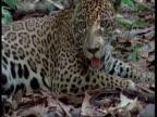 CU Jaguar lying down panting, South America