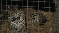 A jaguar (Panthera onca) rests in a cage.