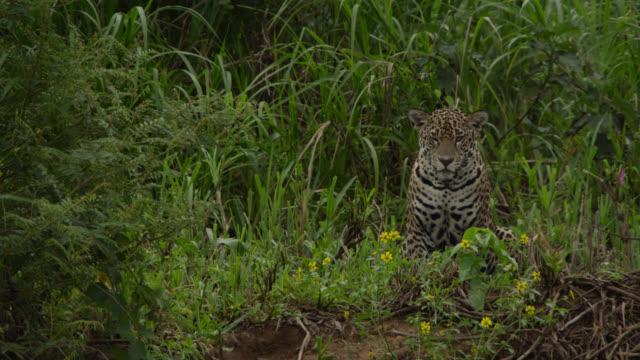 Jaguar (Panthera onca) sits at edge of river.