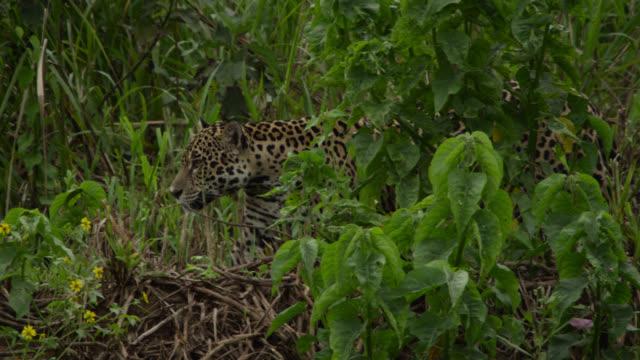Jaguar (Panthera onca) stalks through foliage at end of river.