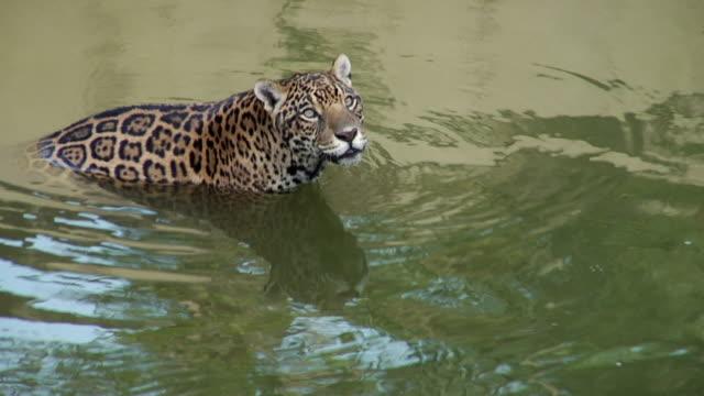 jaguar standing - photo #17