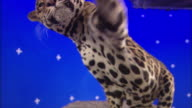 A jaguar swipes a paw at something in front of a blue screen.