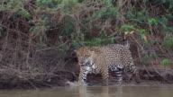 Jaguar walking and splashing water in Cuiaba River, Pantanal, Brazil