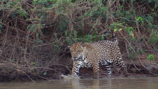 Jaguar walking and splashing water in Cuiaba River, Pantanal, Brazil