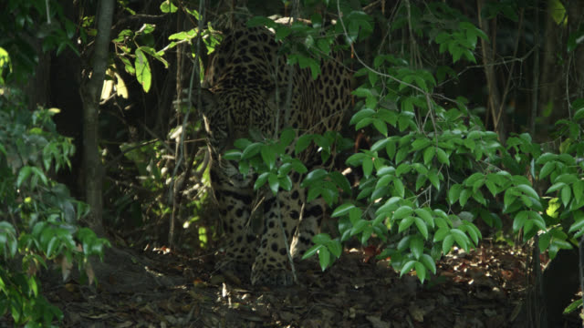 Jaguar (Panthera onca) walks stealthily through forest then lies down.