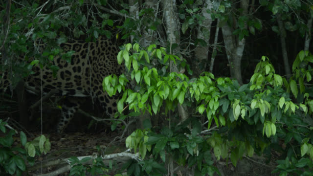 Jaguar (Panthera onca) walks stealthily through forest.