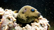 Jake the Dog (Blackspotted Pufferfish) in the real underwater world
