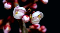 Japanese Apricot Flower blooming