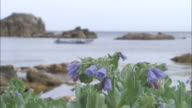 Japanese bluebells on shore, rocky coast behind